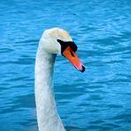 Ein eisblauer Engel,der mit voller Gelassenheit und Eleganz seine Wege schwimmt *