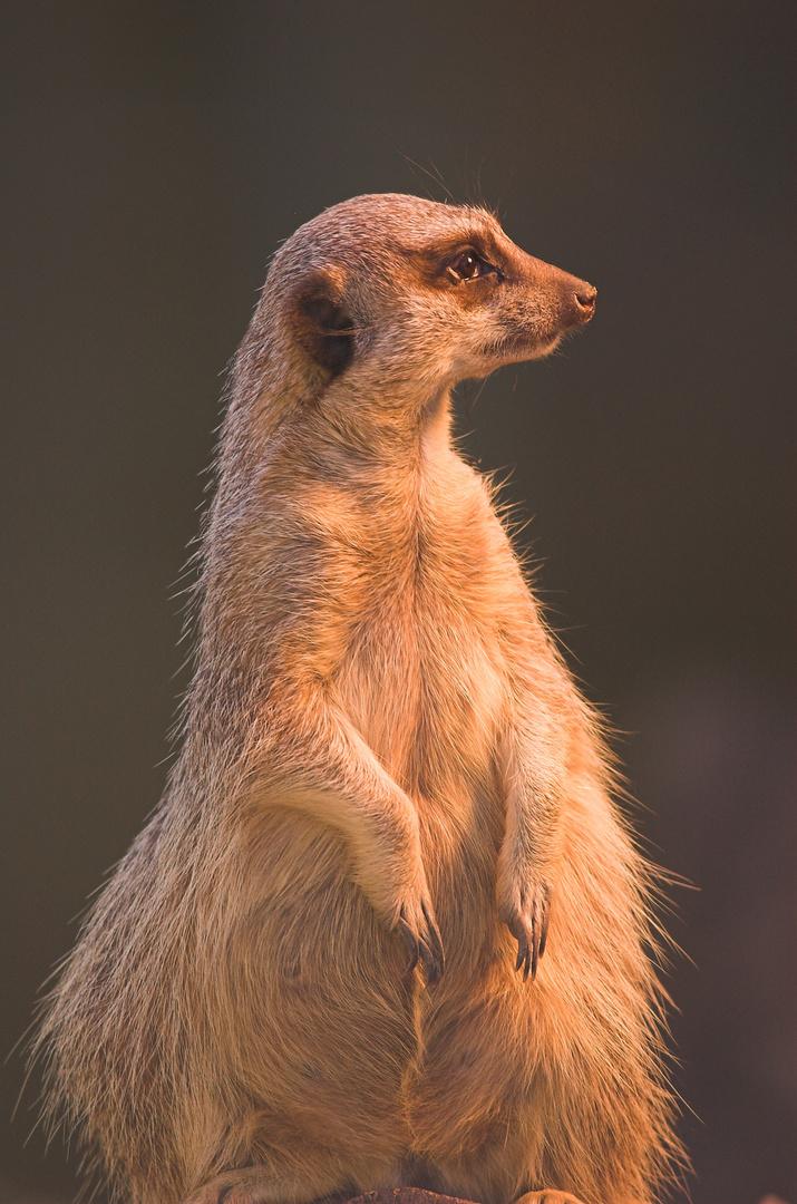 Ein Erdmännchen hat Fotoshooting
