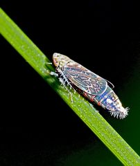 Ein farbenfroher Winzling, eine Bunte Graszirpe (Errastunus ocellaris). *