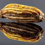 Ein Fenchel-Samen