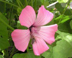 Ein Ferkel, diese Biene...