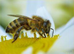 Ein fleißiges Bienchen....