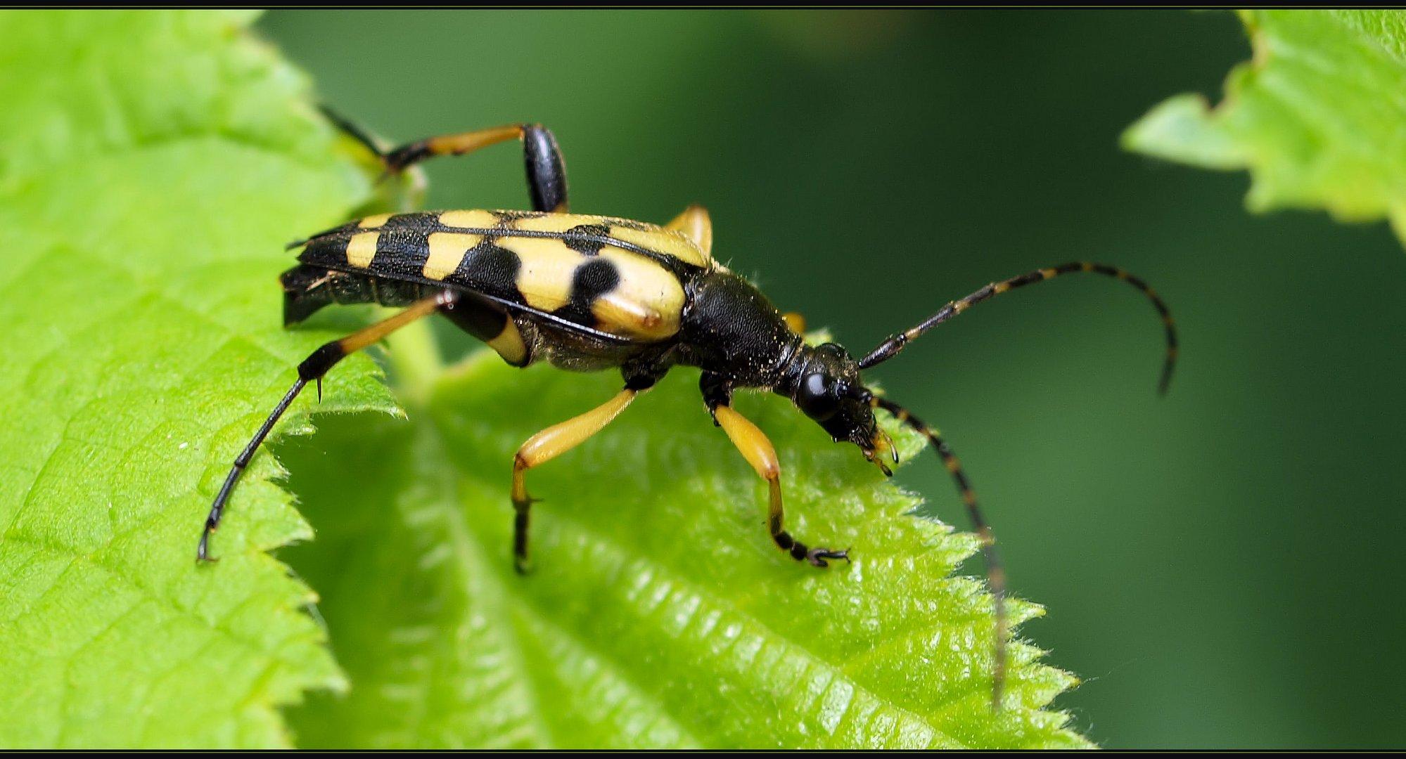 Ein flotter Käfer ...