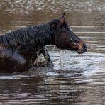 Ein Flusspferd in Duisburg-Walsum ?