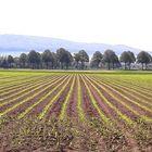 Ein frisch ausgetriebenes Maisfeld