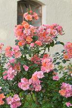 ein frischer Rosenstrauß