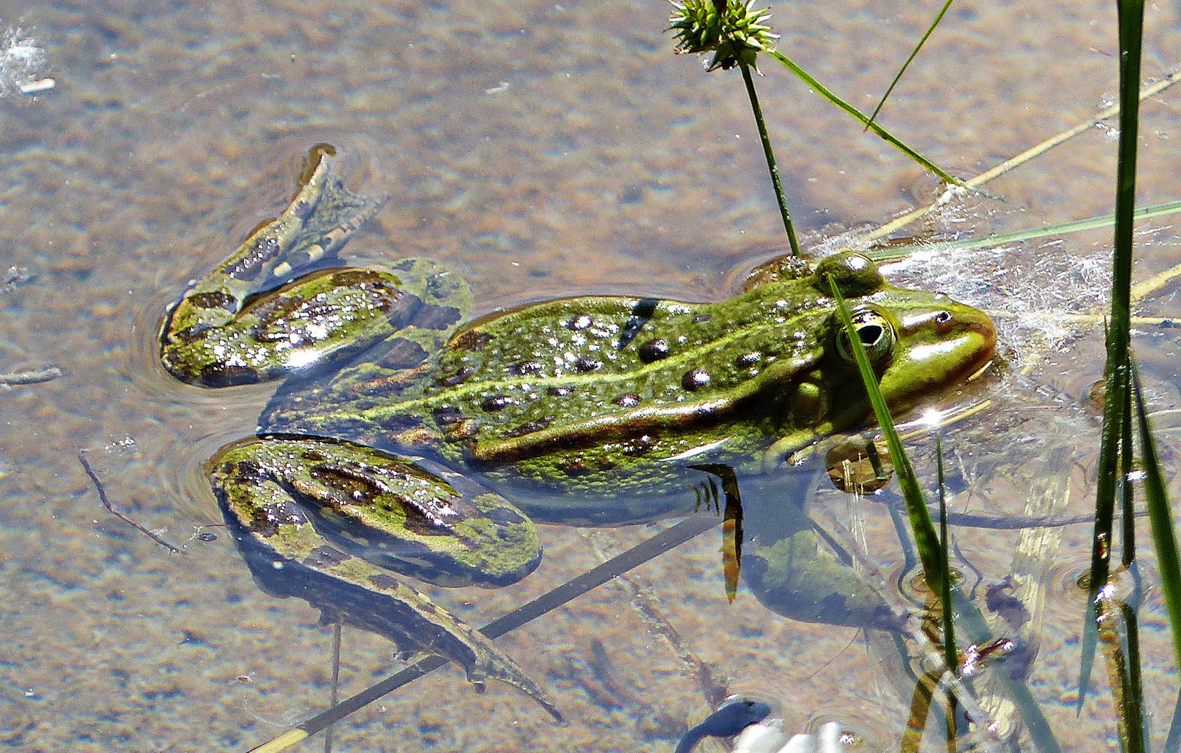Ein Frosch im Biotop