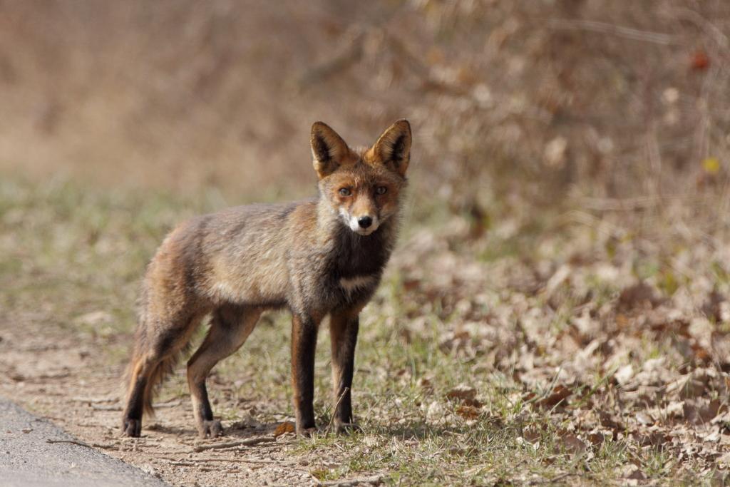 Ein Fuchs des Weges