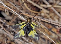 Ein ganz besonderes Wesen, das Schmetterlinge verfolgt... - L'Ascalaphe soufré.