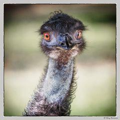 Ein ganz lieber junger Emu....