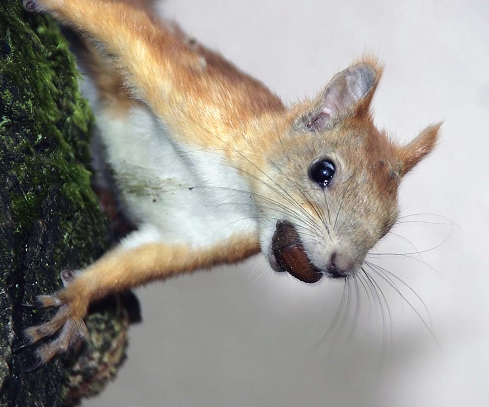 Ein ganz schön neugiriges Eichhörnchen