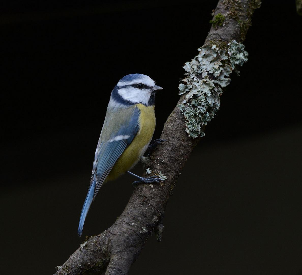 Ein Gast in meinem Grundstück: Die Blaumeise