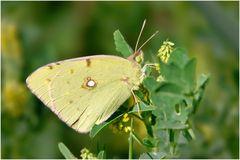 ein gelber Weißling