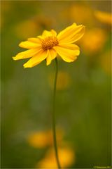 Ein gelbes Blütenmeer...