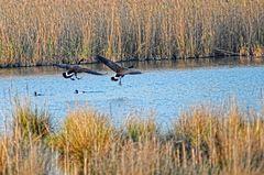 Ein Geschwader Kanadagänse setzt zur Wasserung an ...