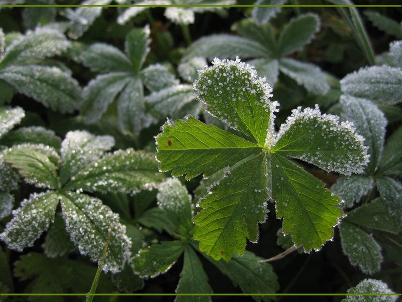""""""" Ein Glücksblatt mit Frost erwischt """""""