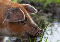 Ein Glücksschwein