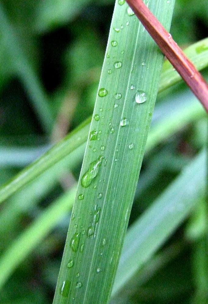 Ein Grashalm nachdem es regnete