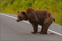 ein grizzly beim . . . .
