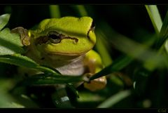 ein grüner Frosch