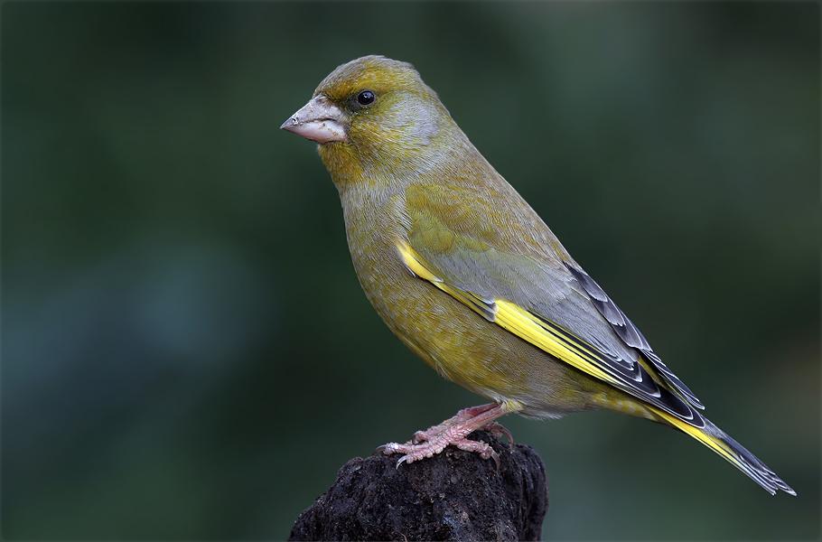ein Grünfink