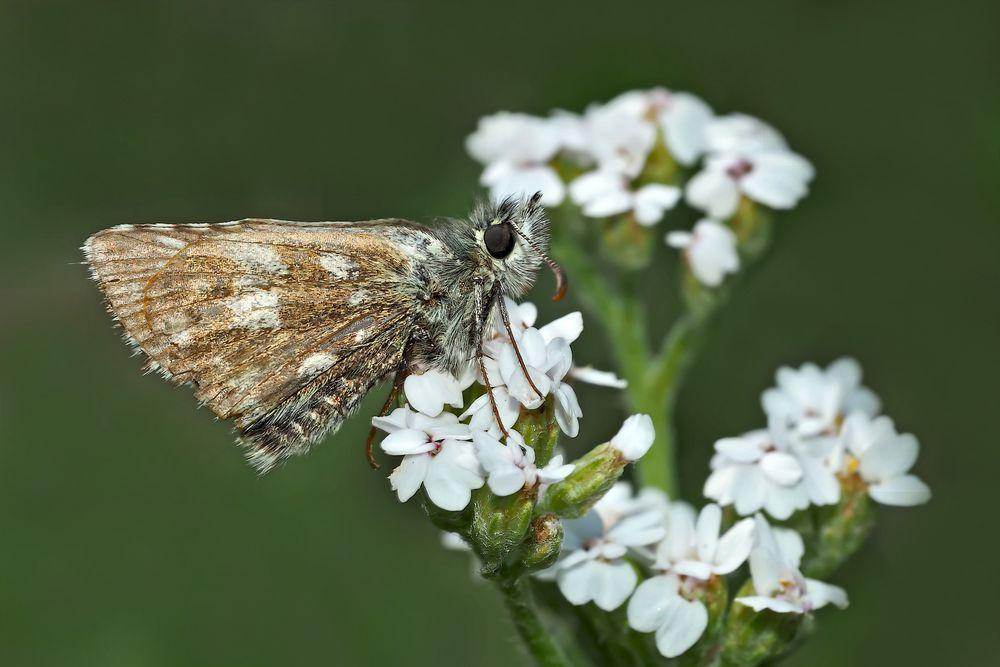 Ein Gruss aus den Bergen von einem Dickkopffalter (Pyrgus). - Un papillon de jour de la montagne.