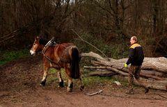 Ein gutes Gespann  aus Rückepferd und Pferderücker ...