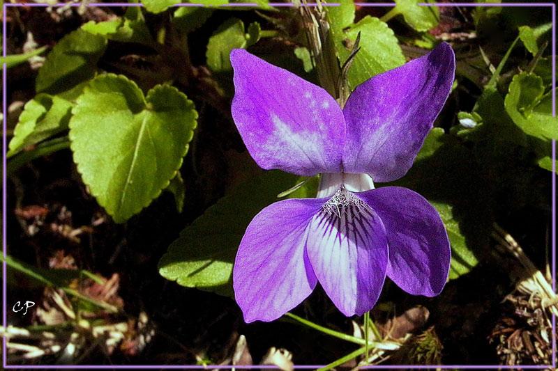 Ein Hain-Veilchen (Viola riviniana) ...