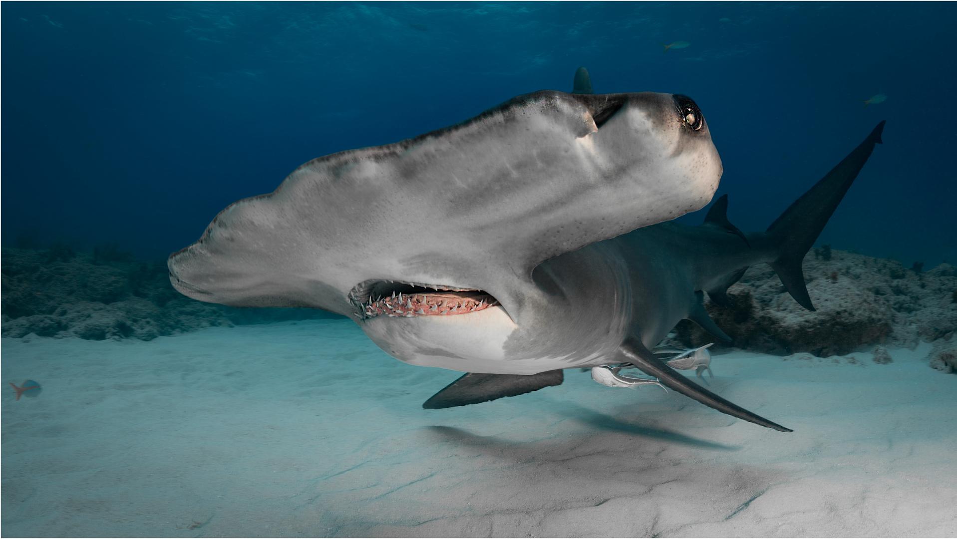 Ein Hammer-Hai