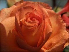 Ein Hauch von Rose