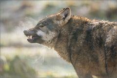 ~ Ein Hauch Wolf ~