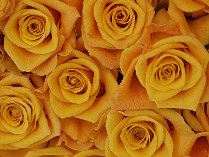 Ein Haufen gelbe Rosen