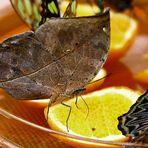 Ein Herbst Schmetterling oder ein Fliegendes Blatt....???