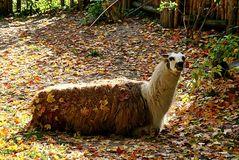 Ein Herbstlama, lach