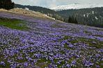 Ein herrlicher Blütenteppich ziert die schneefreien Almwiesen.