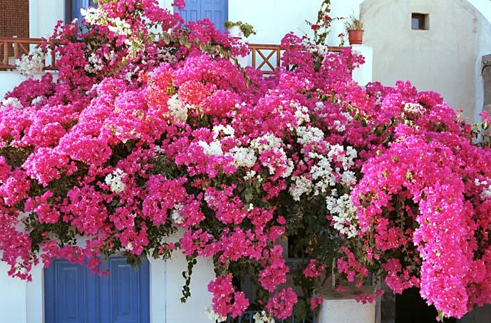 Ein Hinterhof voller Blumen auf Santorin