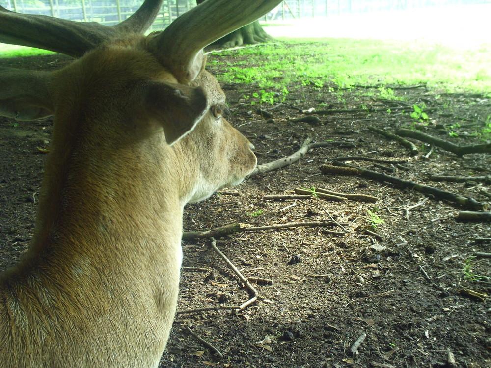 Ein Hirsch 2