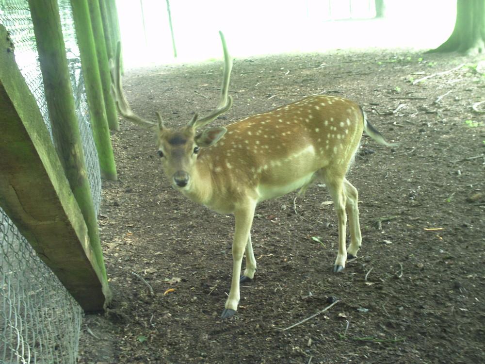 Ein Hirsch