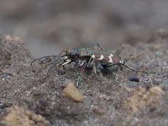 Ein hübscher Flitzer - Berg-Sandlaufkäfer (Cicindela sylvicola)