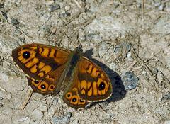 Ein hübsches Mauerfuchsmännchen (Lasiommata megera)! - Une Mégère aux couleurs intenses!