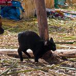 Ein Hund und eine Katze auf dem Titicaca-See