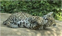 Ein Jaguar....