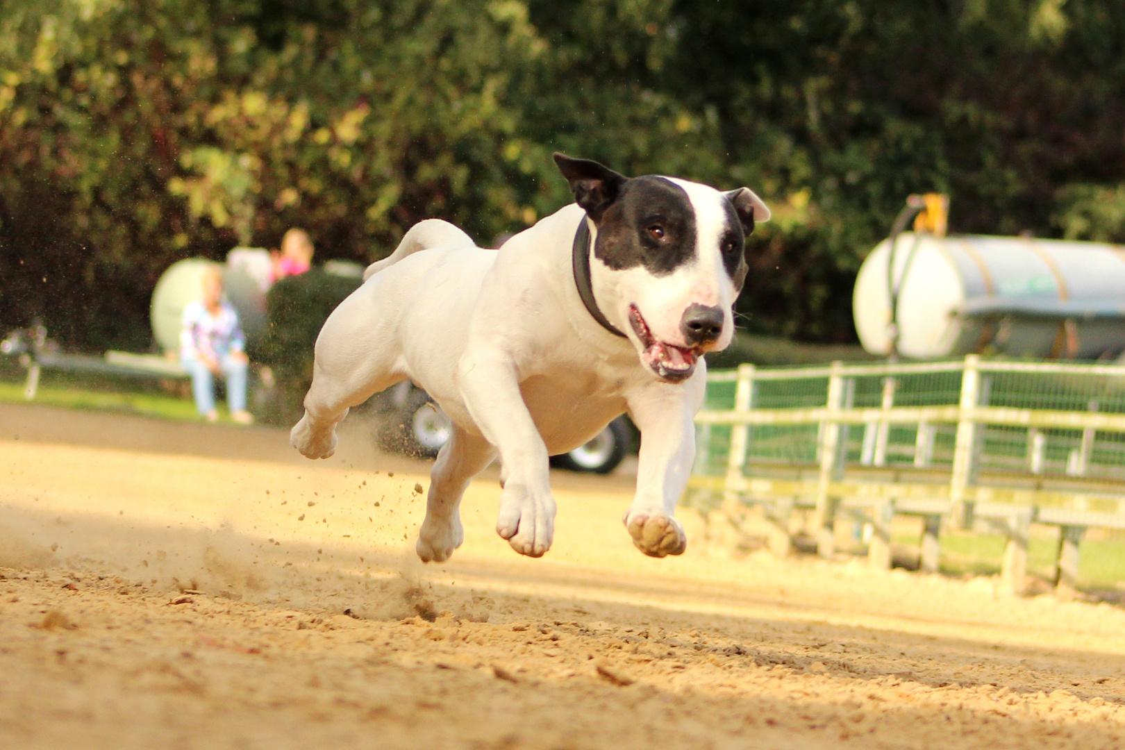 """Ein """"Jederhund"""" beim Rennen"""