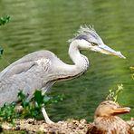 Ein junger Fischreiher