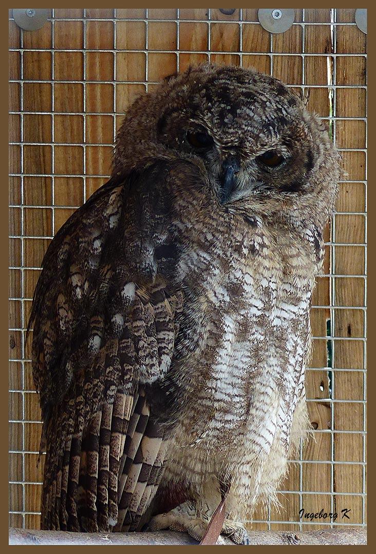 Ein junger Vogel hinter Gitter - Falknerei Remscheid  - Stand leider kein Name dabei