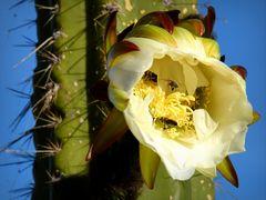 Ein Kaktus am Titicacasee