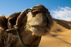 Ein Kamel ist um jeden Grashalm froh