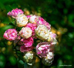 Ein Kessel Buntes Rosen ganz fein