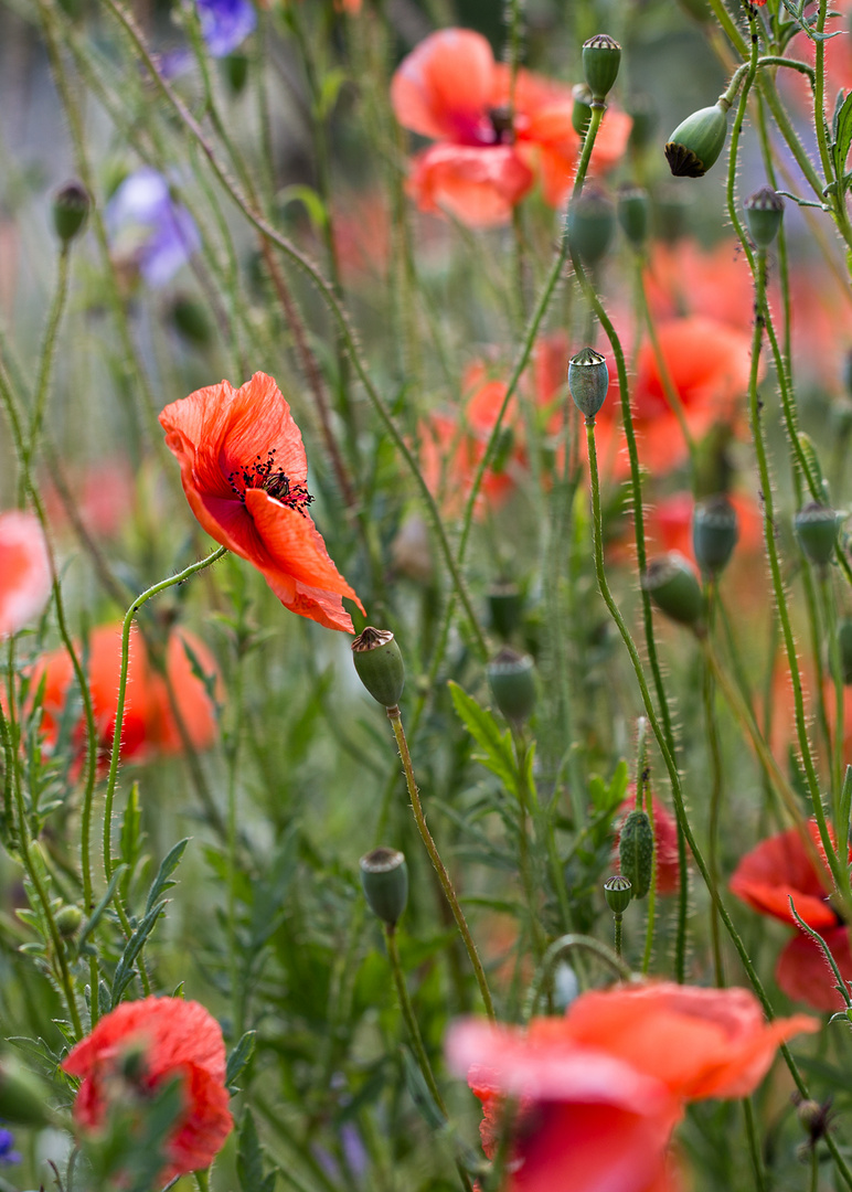 Ein Klatschmohnblümchen aus dem Garten  ...
