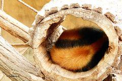 Ein kleiner Ameisenbär schläft im Baumnest - Zoo Krefeld